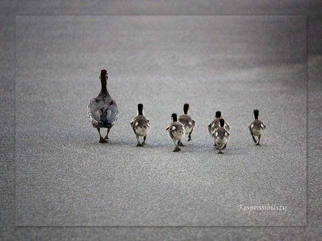 ducks-686098_640
